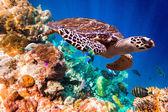 бисса черепаха - eretmochelys imbricata — Стоковое фото