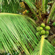 Stock Photo: Coconut Palm Tree