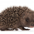 Small hedgehog — Stock Photo #12760895