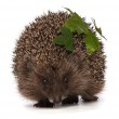 Hedgehog — Stock Photo #12781530