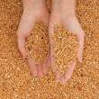 Crop wheat — Stock Photo #12839149
