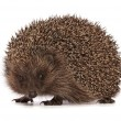 Hedgehog — Stock Photo #13150571