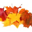Many maple fall colored leaves — Stock Photo