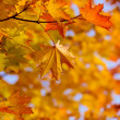 Fall maple leaves at branch  — Stock Photo