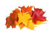 Maple fall colored leaves — Stock Photo