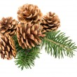 Pine cones on branch — Stock fotografie