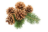 Pine cones on branch — Photo