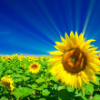 Fine sunflowers and fun sun in the sky. — Stock Photo
