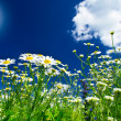 Wonderful camomiles against blue sky background. - Stock Photo