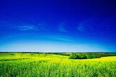 Golden field of rapeseeds. — Stock Photo