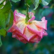 Pink rose with drops of water - Stock Photo