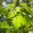 Green maple leaves — Stock Photo #17418069