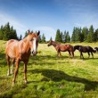 Horses graze — Stock Photo