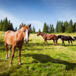 Stock Photo: Horses graze