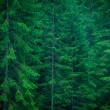 Spruce Forest — Stock Photo #13809563
