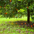 Orange tree — Stock fotografie #21554407