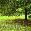 Orange tree — Stockfoto #21554407