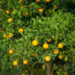 Orange tree — Stock fotografie #21554527