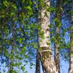 Birch trees with foliage — Stock Photo