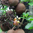 Cannonball tree : couroupita guianensis aubl. — Stock Photo
