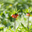 Stock Photo: Orange crown imperial flowers (Fritillariimperialis)