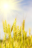 Ripening ears of wheat field on the background of the sun — Stock Photo
