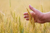 Wheat ears in the hand.Harvest concept — ストック写真