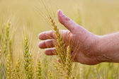 Wheat ears in the hand.Harvest concept — 图库照片