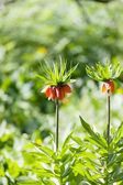Orange crown imperial flowers (Fritillaria imperialis) — Stock Photo