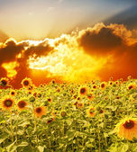 Big field with sunflowers against a bright sunset — Stock Photo