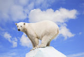 Polar bear on an ice floe on a background of the blue sky — Stock Photo