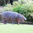 Hippopotamus (Hippopotamus amphibius) near the lake - Foto de Stock  