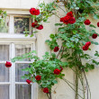 Royalty-Free Stock Photo: Old wall with a window, twined blossoming roses