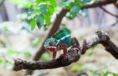 Chameleon (lat. Chamaeleonidae) sits on a branch — Foto de Stock