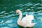 White swan floats on blue water — Stock Photo