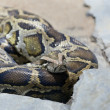 Stock Photo: Venomous snake sleeps, having curtailed on stones