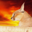 Steppe lynx (Caracal caracal) against a sunset — Stock Photo