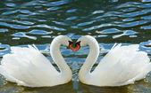 Dwa łabędzie wygięte szyje w formie serca — Zdjęcie stockowe