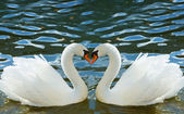 Two swans bent necks in the form of heart — Stock Photo