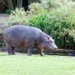 Big hippopotamus goes on the river bank - Stock Photo