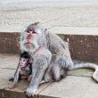 Monkeys beggars elicit delicacies, Bali, Indonesia — Stock Photo #18644339