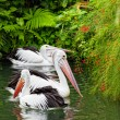Stock Photo: Pair of big pelicans floats on water
