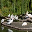 Stock Photo: Big pack of pelicans on an island against green leaves