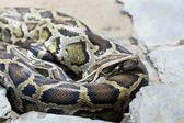 Mesh python lies on stones — Stock Photo