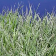 Green grass near water (Phalaris arundinacea) — Stock Video