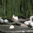 Stock Video: Big flight of pelicans