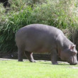 Hippopotamus goes on the river bank and something eats - Stock Photo
