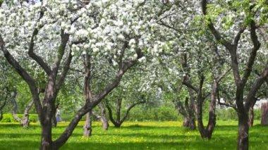 Beautiful blossoming apple-tree garden — Stock Video