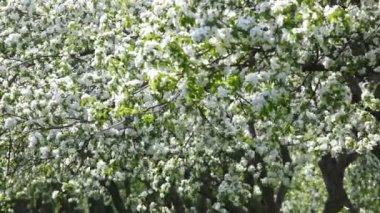 Blossoming apple-tree — Stock Video