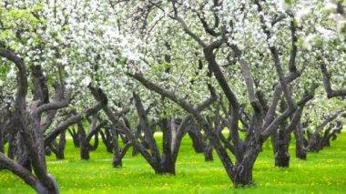 Mosca de pétalos de florecientes manzanos — Vídeo de Stock